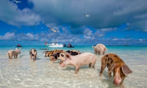 Pigs That Probably Live Happier than We Do