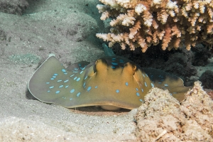 """© <a href=""""https://cdn.pixabay.com/photo/2018/11/08/00/32/blue-spotted-stingrays-3801557_960_720.jpg"""" target=""""_blank"""" rel=""""nofollow"""">Pixabay</a>/Public domain - Note: the image is for illustration purposes only. Real place may vary."""