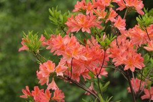 """© <a href=""""https://cdn.pixabay.com/photo/2018/06/08/02/41/rhododendron-3461489_960_720.jpg"""" target=""""_blank"""" rel=""""nofollow"""">Pixabay</a>/Public domain - Note: the image is for illustration purposes only. Real place may vary."""
