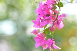 """© <a href=""""https://cdn.pixabay.com/photo/2017/08/18/14/24/bougainvillea-2655184_960_720.jpg"""" target=""""_blank"""" rel=""""nofollow"""">Pixabay</a>/Public domain - Note: the image is for illustration purposes only. Real place may vary."""