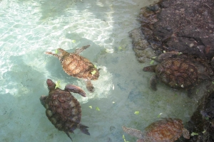 """© <a href=""""https://en.wikipedia.org/wiki/File:Turtle_feeding_at_Coral_World.jpg"""" target=""""_blank"""" rel=""""nofollow"""">Anthony Giorgio/Wikimedia</a>/<a href=""""https://creativecommons.org/licenses/by-sa/2.5/deed.en"""" target=""""_blank"""" rel=""""nofollow"""">CC BY-SA 2.5</a>"""