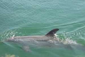 """© <a href=""""https://commons.wikimedia.org/wiki/File:Dolphin_swimming_in_Dolphin%27s_Cove_-_panoramio.jpg"""" target=""""_blank"""" rel=""""nofollow"""">Michael A. Orlando/Wikimedia</a>/<a href=""""https://creativecommons.org/licenses/by-sa/3.0/deed.en"""" target=""""_blank"""" rel=""""nofollow"""">CC BY-SA 3.0</a>"""