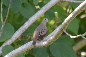 "© <a href=""https://commons.wikimedia.org/wiki/File:T%C3%B3rtola_Coquita,_Common_Ground_Dove,_Columbina_passerina_(11060616295).jpg"" target=""_blank"" rel=""nofollow"">Amado Demesa/Wikimedia</a>/<a href=""https://creativecommons.org/licenses/by-sa/2.0/deed.en"" target=""_blank"" rel=""nofollow"">CC BY-SA 2.0</a>"