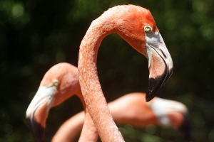 """© <a href=""""https://commons.wikimedia.org/wiki/File:Flamingos_in_Bermuda_zoo.jpg"""" target=""""_blank"""" rel=""""nofollow"""">dbking/Wikimedia</a>/<a href=""""https://creativecommons.org/licenses/by/2.0/deed.en"""" target=""""_blank"""" rel=""""nofollow"""">CC BY 2.0</a>"""