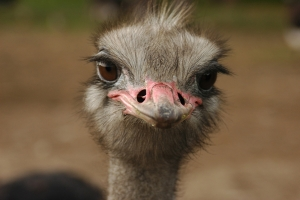 "© <a href=""https://cdn.pixabay.com/photo/2015/04/18/23/22/ostrich-729244_960_720.jpg"" target=""_blank"" rel=""nofollow"">Pixabay</a>/Public domain - Note: the image is for illustration purposes only. Real place may vary."